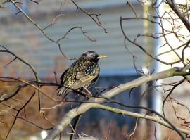 Kottarainen kuuluu pahiten siipeensä saaneisiin lintuihin. Sen kanta Suomessa on vain viidenneksen 1970-luvun määristä. Kuva: Maija Karala