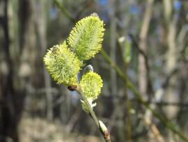 Pajunoksat ovat vanha kevään ja heräävän elämän symboli. Kuva: Maija Karala