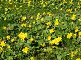 Kevään keltaisiin kukkijoihin kuuluva mukulaleinikki kukkii parhaimmillaan. Suosiiko sää jo puutarhatöitä, siitä lisää huomisessa lehdessä.