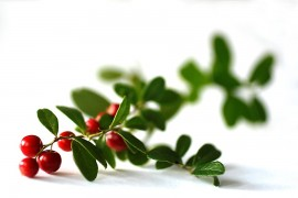 Puolukkasta on jalostettu myös suomalaiseen puutarhaan sopiva kasvi.