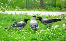 Pesästä lähteneet variksenpojat eivät osaa vielä etsiä ruokaa itse, vaan seuraavat emon kannoilla kerjäten.
