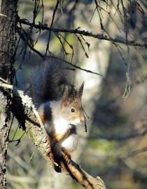 Orava elää talvisin lähinnä kuusensiemenillä. Kuva: Maija Karala