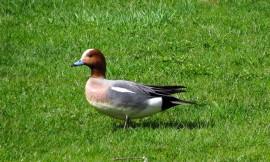 Moni tuttu lintu päätyi uhanalaisten listalle. Niiden joukossa on haapana.