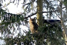 Varisten metelöintiä seuraamalla voi löytää vaikka huuhkajan. Häiriköimällä varikset varmistavat, ettei peto pääse yllättämään.