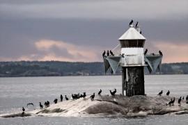 Mikäli pöntötyskokeilu onnistuu, muuttavat merimetsot pian läpi vuoden.