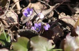 Sinivuokko on yksi kevään ensimmäisistä kukista.