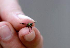 Kiinni jäit! Tuikeannäköisen sokkopaarman tunnistaa värikkäistä silmistä.