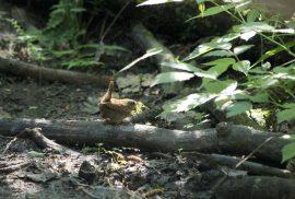 Peukaloiskoiras rakentaa pesän sammalesta.