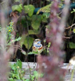 """Sinirinta eteläsuomalaisessa puutarhassa. """"Lapin satakieli"""" viipyy muuttomatkalla hetken luonamme. Kuva: Maija Karala."""