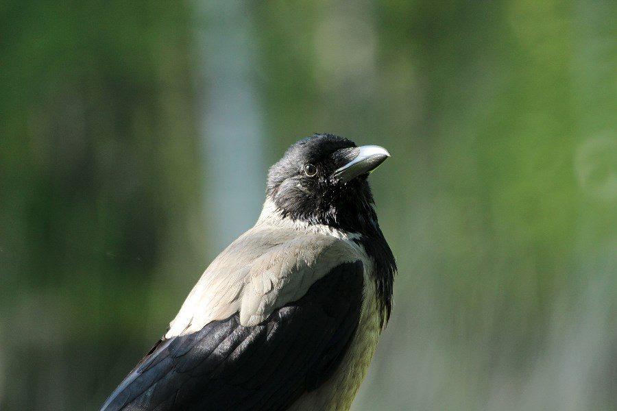 Esimerkiksi varikset ymmärtävät lahjan antamisen idean. Kuva: Maija Karala