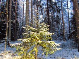 Metsäkuusi on aito, oikea joulupuu.